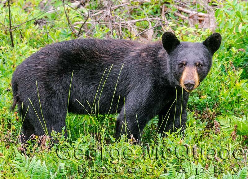 1404 Black Bear