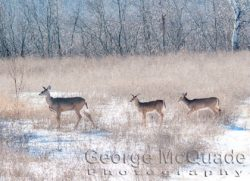 1406 Whitetail Family _c