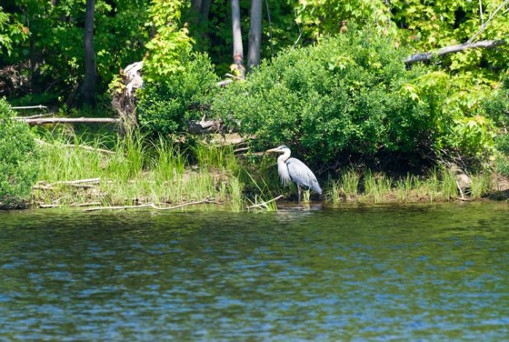 Great Blue Heron Bass Fishing