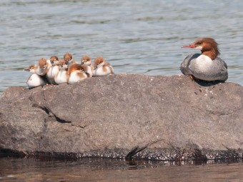 Merganser Ducklings