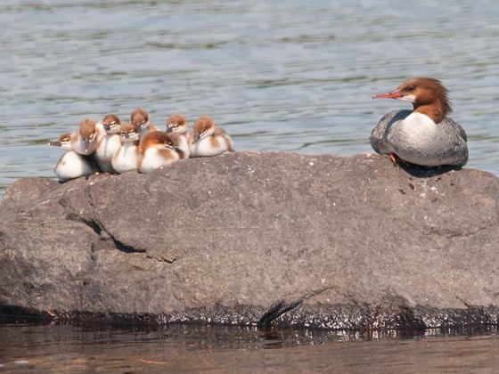 Merganser Ducklings